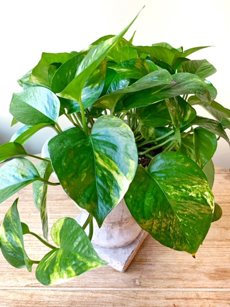Product_Golden Pothos_IMG-0938