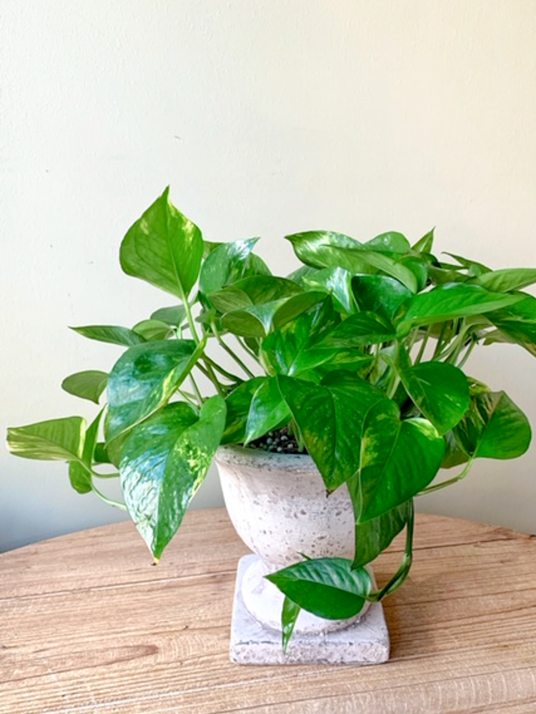 Product_Golden Pothos_IMG-0941