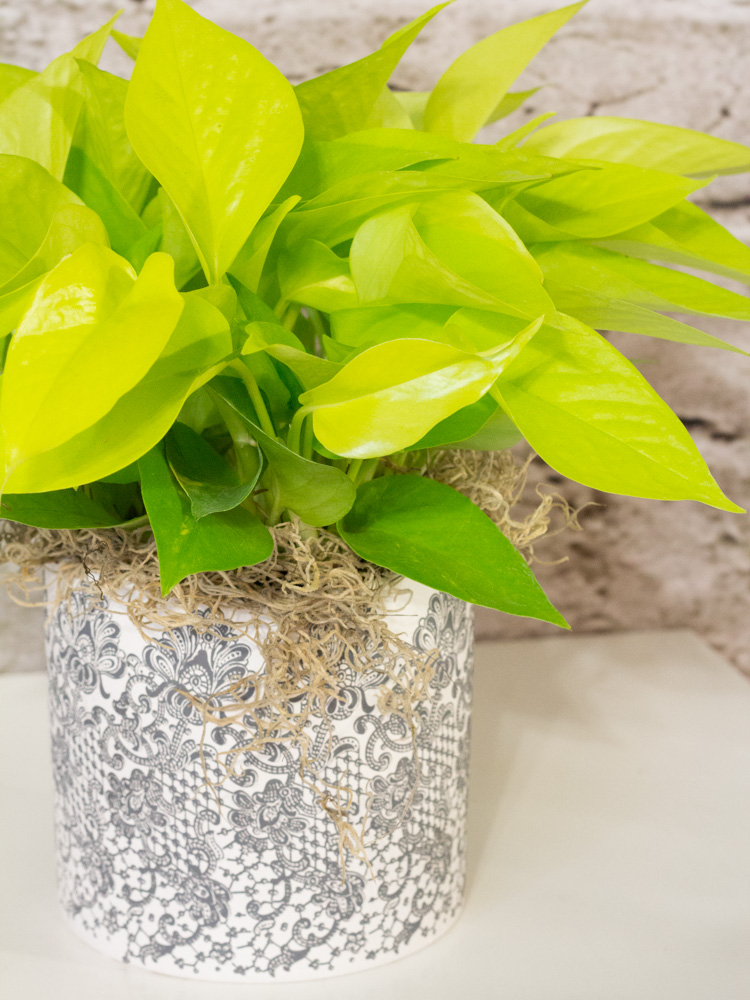 Neon Pothos Cool Green Amp Shady Floral Studio