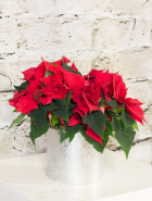 Product_PoinsettiaJr._IMG_4089