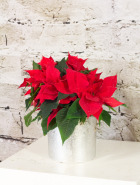 Product_PoinsettiaJr._IMG_4091