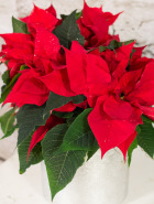 Product_PoinsettiaJr._IMG_4093