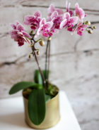 Product_Orchid Multiflora_IMG-0683