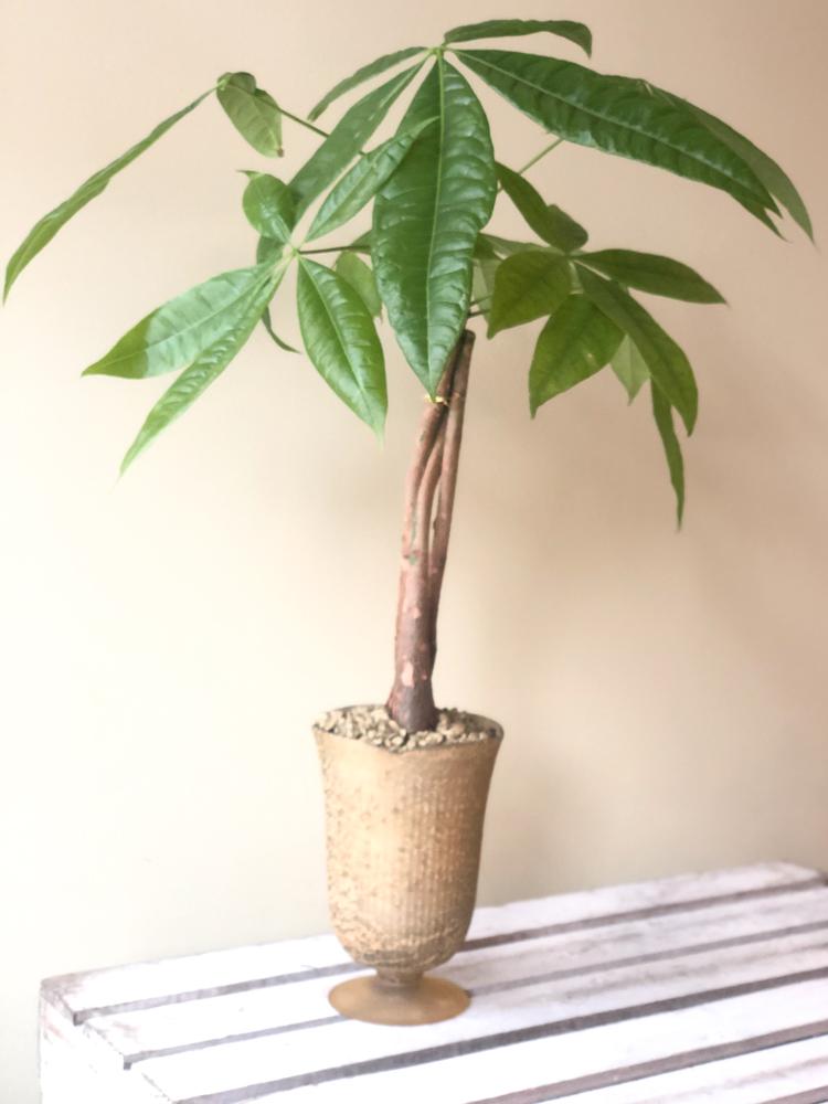 Product_Money Tree_IMG-4930