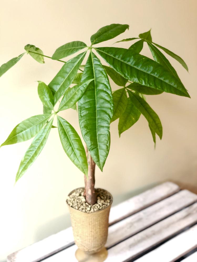Product_Money Tree_IMG-4931